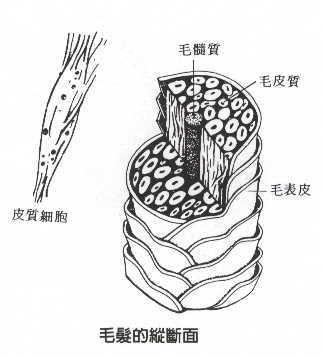 頭髮剖面(須改圖片文字)